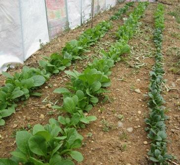 農園の小松菜 (1)