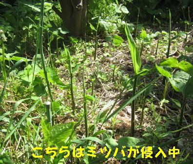 ミョウガ(自宅菜園)