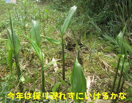 ミョウガ(農園) (3)