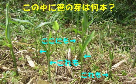 ミョウガ(農園) (1)