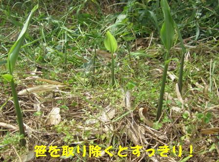 ミョウガ(農園) (2)