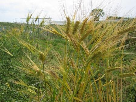 二条大麦 (1)