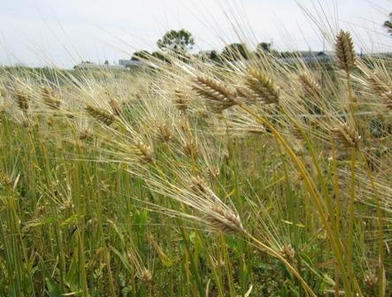 六条大麦 (1)