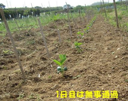 枝豆再 (4)
