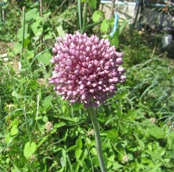 自宅菜園のニンニクの花 (1)