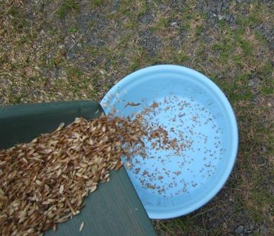 小麦の脱穀・籾すり (6)