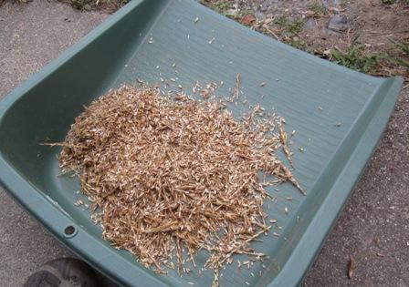 小麦の脱穀・籾すり (5)