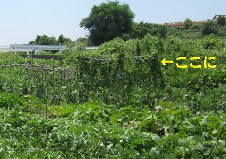 農園のオカワカメ (1)