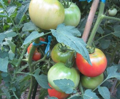 トマト被害 (5)