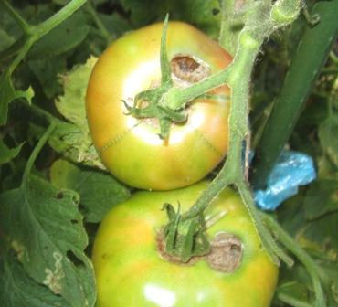 トマト被害 (1)