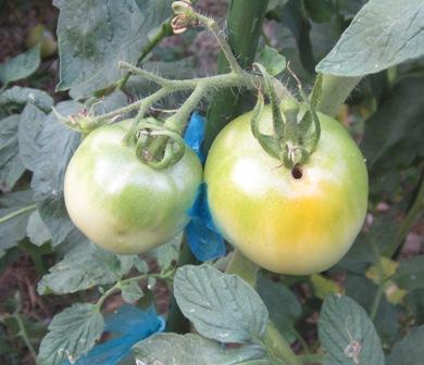 トマト被害 (2)