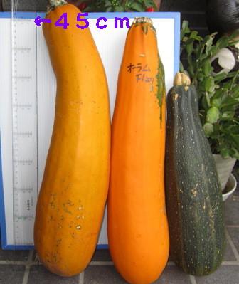 採種用ズッキーニ (1)