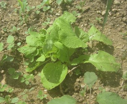 白菜 (3)