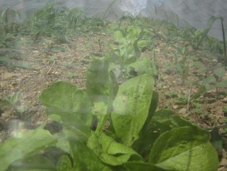 白菜 (2)