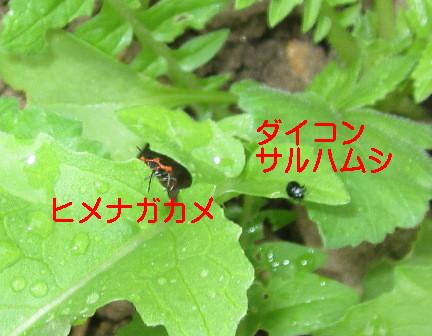 菜園のダイコン (2)