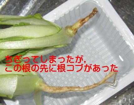 白菜ネコブ
