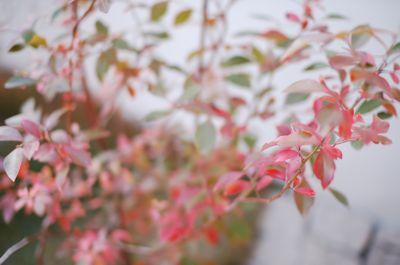 ブルーベリー紅葉