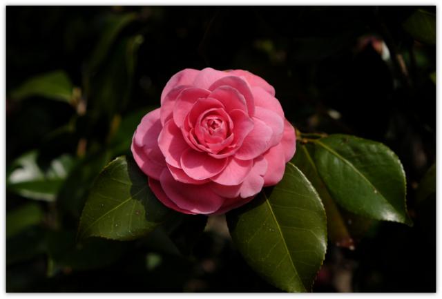 青森県 弘前市 ひろさき ヒロサキ 桜 まつり 祭り 弘前城 弘前公園 観光 弘前さくらまつり 椿の花