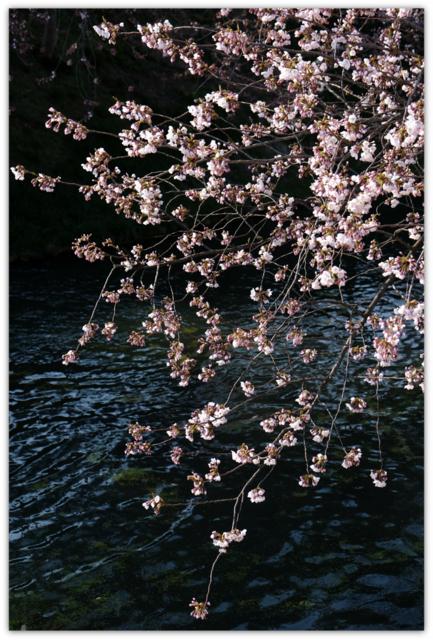 青森県 弘前市 観光 弘前 ひろさき ヒロサキ 桜 さくら サクラ 弘前公園 弘前さくらまつり