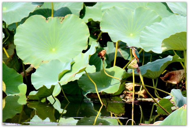 青森県 平川市 猿賀神社 鳥 とり トリ 野鳥 写真 カワセミ