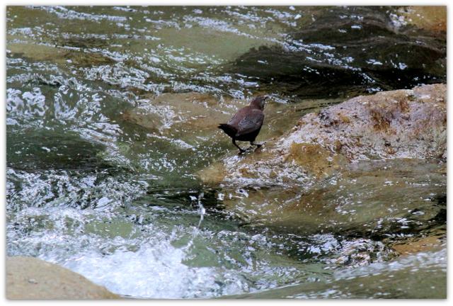 野鳥 トリ とり 鳥 水鳥 カワガラス 写真