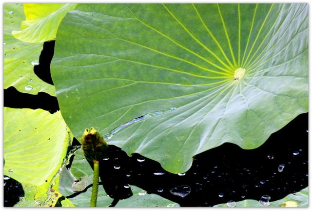 蓮の葉 雨 写真 自然