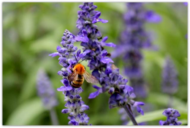 クマバチ 昆虫 写真 弘前公園 蜂