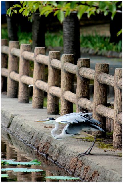 鳥 トリ とり 野鳥 写真 あおさぎ アオサギ 青鷺 青森県 平川市 猿賀神社