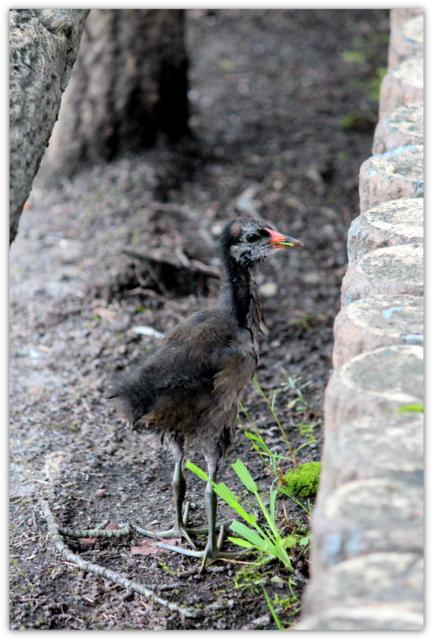 バン ばん 鳥 野鳥 水鳥 とり トリ 写真 雛鳥 平川市 猿賀神社