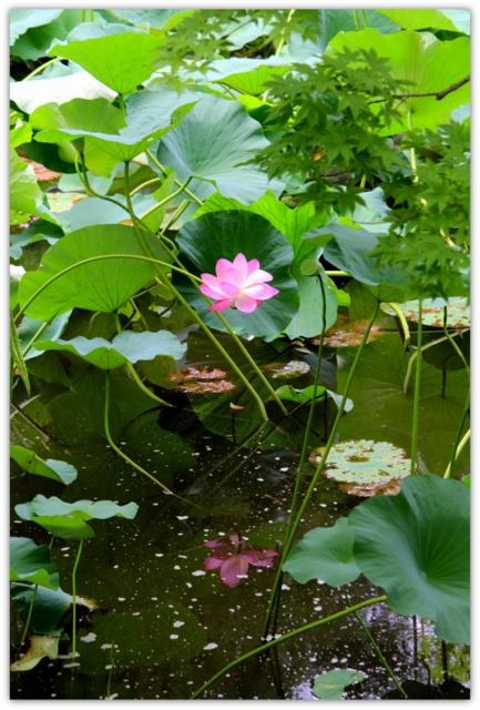 蓮の花 花 植物 写真 弘前公園
