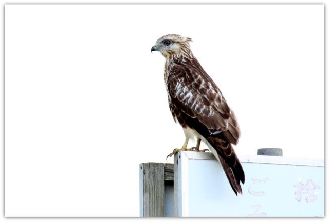 ノスリ 猛禽類 野鳥 鳥 写真