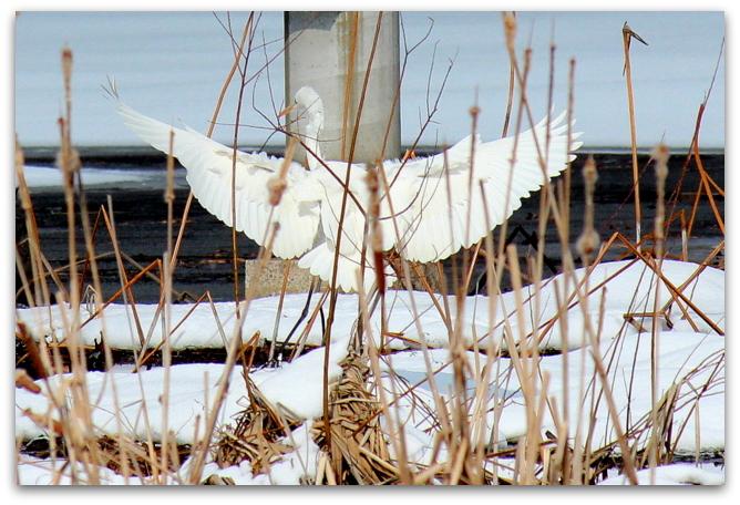 白鷺 しらさぎ シラサギ ダイサギ 鳥 野鳥 写真