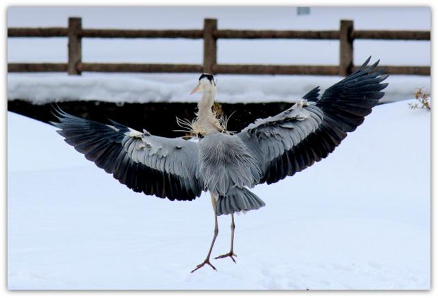 青鷺 あおさぎ アオサギ 鳥 野鳥 写真