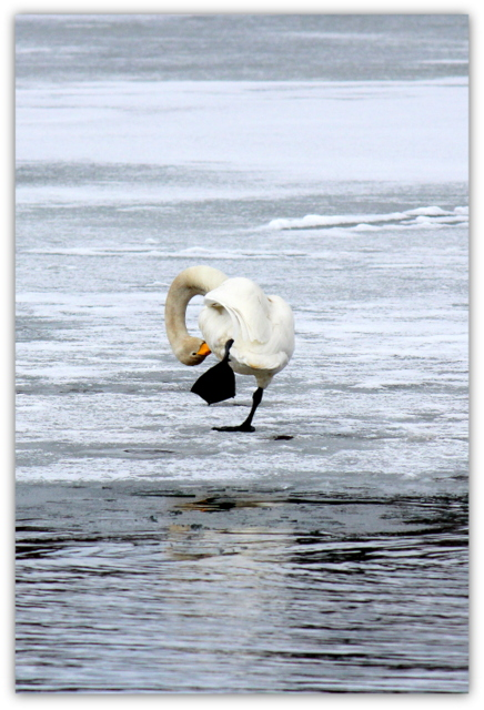 白鳥 ハクチョウ はくちょう 鳥 野鳥 水鳥 渡り鳥 写真
