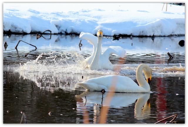 白鳥 ハクチョウ はくちょう 野鳥 鳥 渡り鳥 水鳥 写真