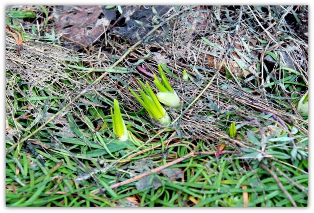 クロッカス 花 芽 春の息吹 植物 写真