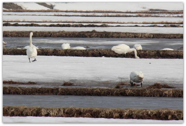 白鳥 はくちょう ハクチョウ 鳥 とり トリ 野鳥 渡り鳥 水鳥 写真