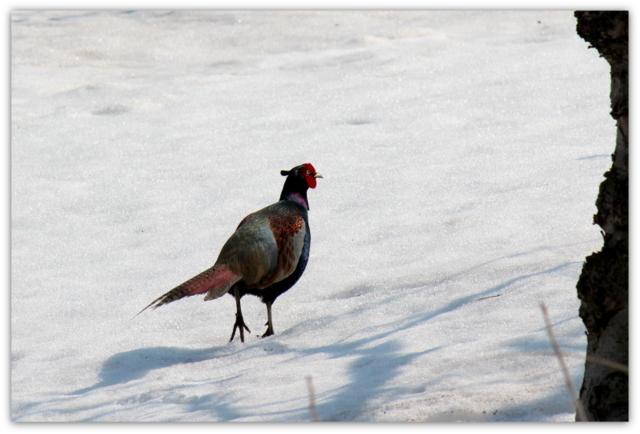 キジ きじ 雉 鳥 野鳥 写真