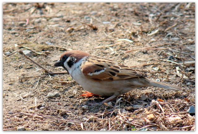 鳥 スズメ すずめ 雀 野鳥 写真