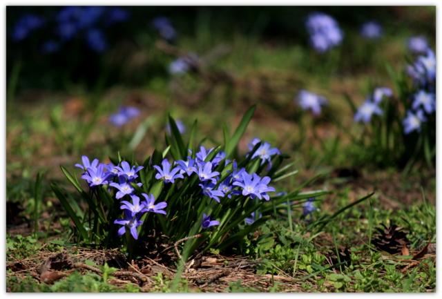 青森県 弘前 観光 弘前公園 植物園 花 写真 チオノドクサ