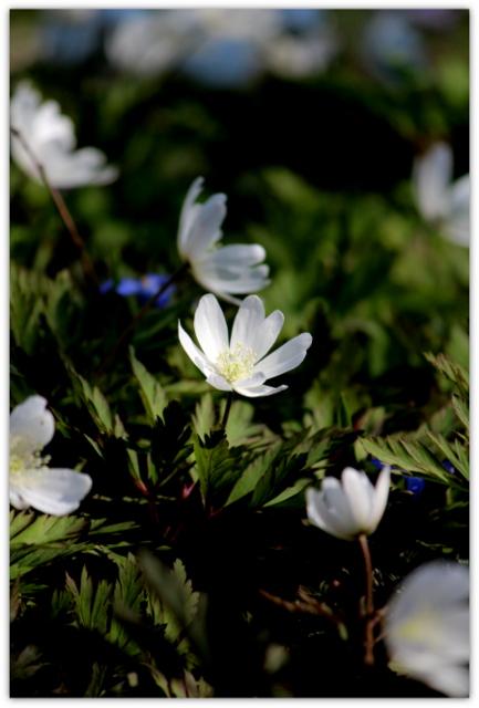 青森県 弘前 観光 弘前公園 植物園 花 写真 キクザキイチゲ