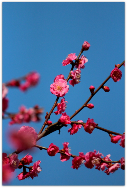 青森県 弘前 観光 弘前公園 植物園 花 写真 梅