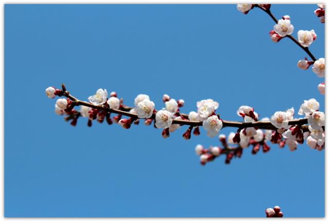 梅 うめ ウメ 花 はな ハナ 写真