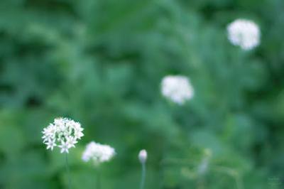 I白い花MGP5500weba