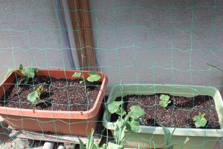 庭きゅうり