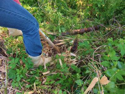 筍を掘るる