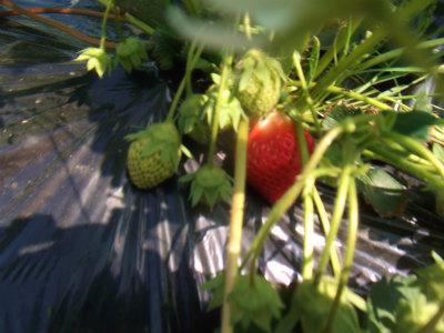 畑のイチゴ