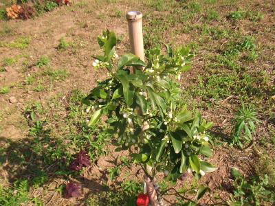 空き地の柑橘類1