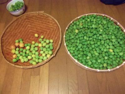 6.7収穫した梅