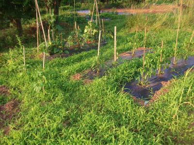 6.19草に覆われる野菜